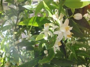 Mandarino in fiore